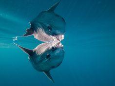 fuckyeahaquaria: Ocean Sunfish | Mola mola (by altsaint)