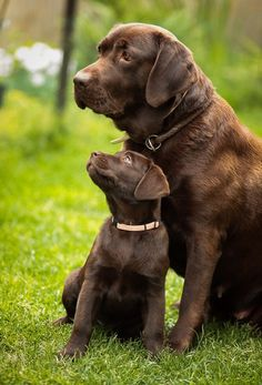 A faithful mother watching over her pup, such beautiful chocolate labs! #labradors #cute