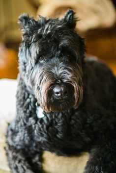 Bouvier! Sophie - Dogs of PA 2013 by Carolyn Ann Geason on simply-canine.tumblr.com.