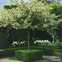 One of my favourite crabapples malus spectablis , in the white garden at Stonefields. #paulbangay #Stonefields #garden
