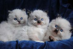 Ragdoll cats and kittens Photo Gallery. Ragdoll cat breeders in Ohio. Ragdoll Cat Breeders, Ragdoll Kittens For Sale, Kittens And Puppies, Cute Cats And Kittens, Cool Cats, Kittens Cutest, Ragdoll Cats, Pretty Cats, Beautiful Cats