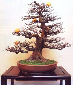 Bonsai – Árvores especiais   Aido Bonsai