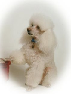 TOP Dogs And Puppies Pictures Poodle Pictures Pinterest - 26 dogs puppyhood photos