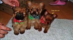 yorkie terrier | Yorkshire Terrier miniatur - Spitz Mischling Welpe