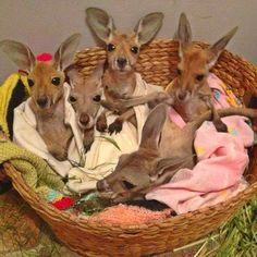 Canguros bebés en un Santuario de Canguros, Australia.