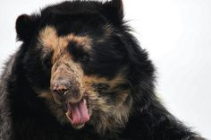 funkysafari:  Spectacled Bear by tredhead