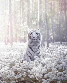 White tiger - Belezza,animales , salud animal y mas Majestic Animals, Rare Animals, Animals And Pets, Funny Animals, Wild Animals, Cut Animals, Big Cats, Cats And Kittens, Cute Cats
