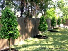 savannah holly patio tree - Google Search
