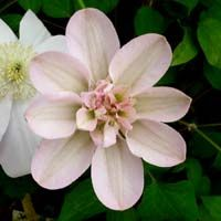 Clematis Jeanes Pink