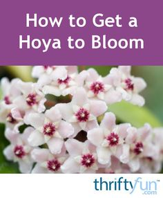 This is a guide about how to get a hoya to bloom. These vining indoor plants will bloom with waxy clusters of flowers reminiscent of mophead hydrangeas. Hoya Plants, Potted Plants, Indoor Plants, Hydrangeas, Hindu Rope Plant, House Plant Care, Malva, Tropical Plants