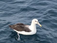 Southern seabird - Albatross