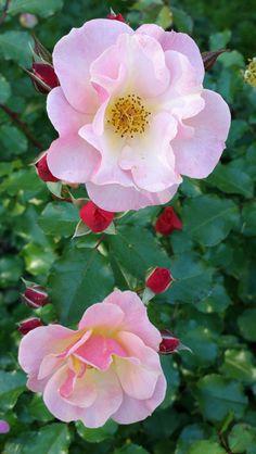 'Jazz Rose'   Floribunda Rose. Hans Jürgen Evers (Germany, 2003)   Flickr - © KamalaKala