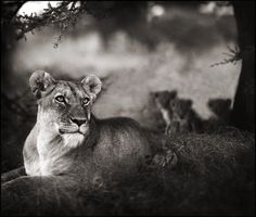 Nick Brandt Photography, LIONESS WITH CUBS UNDER TREE, SERENGETI, 2004