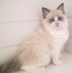 Ragdoll Cat... I have one that looks just like this! That are known for having dog like features and they love to be held!