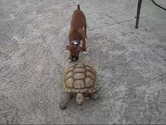http://twentytwowords.com/2012/07/13/tortoise-chasing-a-boxer-puppy/