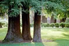 CHICO STATE REDWOOD TREES IN CHICO, CALIFORNIA