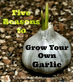 Five Reasons to Grow Your Own Garlic | PreprednessMama