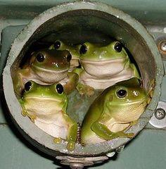 カエル 青蛙 Frog Ribbit