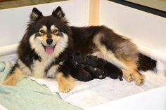 Finnish lapphund and her pups. Can't wait to find out which one is ours!