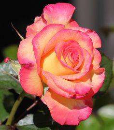 dream come true rose