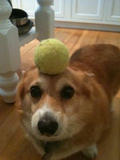 Corgi Has Innate Talent for Balancing Things on Her Head (26 Pics) | Pleated-Jeans.com