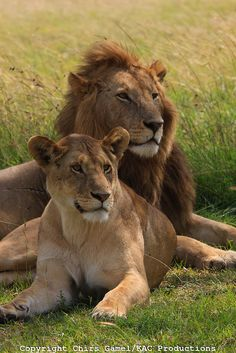Male and female lions lion around in the grass, Serengeti National Park, Tanzania. Lion Pictures, Animal Pictures, Beautiful Cats, Animals Beautiful, Wild Animal Wallpaper, Animals And Pets, Cute Animals, Lion Couple, Female Lion