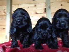 Pedigree KC Registered Cocker Spaniel Puppies in Thornhill, Dumfriesshire born 21/09/14