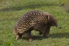 the return of the Echidna by 666philly, via Flickr