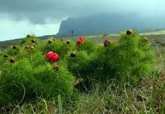 Пион узколистный. Paeonia tenuifolia (700x484, 95Kb) Paeonia Tenuifolia, Mountains, Nature, Travel, Naturaleza, Viajes, Destinations, Traveling, Trips