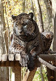 A Jaglion. It is a crossbreed of a male Jaguar and female Lion ...