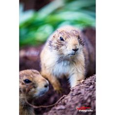 #canon #canonofficial #6d #igers #animals #animalphotography #igworldclub #igers #perfect #photographer #igworldclub #marmot