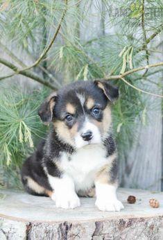 #WelshCorgi #Pembroke #Charming #PinterestPuppies #PuppiesOfPinterest #Puppy #Puppies #Pups #Pup #Funloving #Sweet #PuppyLove #Cute #Cuddly #Adorable #ForTheLoveOfADog #MansBestFriend #Animals #Dog #Pet #Pets #ChildrenFriendly #PuppyandChildren #ChildandPuppy #LancasterPuppies www.LancasterPuppies.com Pembroke Welsh Corgi Puppies, Lancaster Puppies, Animals Dog, Outdoor Play, Puppies For Sale, Mans Best Friend, Puppy Love, Pets, Sweet