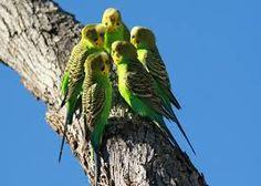 Image result for Budgies