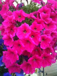 Rose petunias