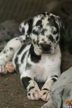 Catahoula Leopard Dog <3