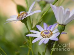 Senetti Flowers On A Cool Spring Day