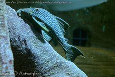 Roodoog Pleco - Panaque nigrolineatus - Royal pleco | by MrTDiddy