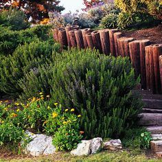 Collingwood Ingram rosemary: a good choice for slopes. [article on types of rosemary plants]