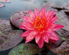 Wanvisa Water Lily