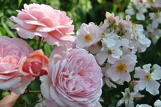 rosa 'A Shropshire Lad' et 'Kathleen'