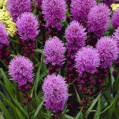 Punatähkä helppo 40-70 heinä-syys Annual Plants, My Flower, Colorful Flowers, Perennials, Lilac, Gardening, Seasons, Fruit, World