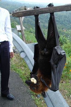 Fox with wings or bat? Animals And Pets, Baby Animals, Funny Animals, Cute Animals, Strange Animals, Cute Animal Pictures, Animal Pics, Exotic Pets, Animal Memes