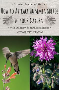 Hummingbirds are a salve for the soul.  Make your hummingbird garden pull double duty by planting these culinary and medicinal herbs! Learn all about how to attract hummingbirds using herbs and flowers while creating a garden full of beauty and diversity. #hummingbirds #pollinators #gardening #medicinalherbs via @nittygrittylife