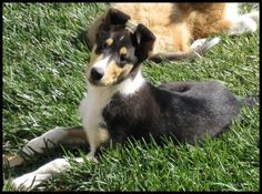 smooth collie puppies | Smooth Collie Puppy ~ so adorable!