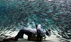 Seoul, Korea. Sardine tank at Coex Aquarium