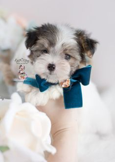 best 25 teacup dogs for sale ideas on pinterest small