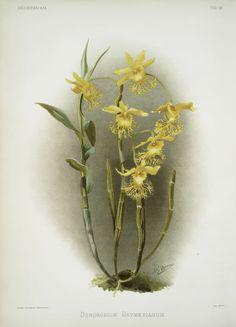 Dendrobium brymerianum.