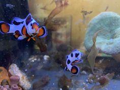 Clownfish Pair for Sale Online Marine Aquarium Fish, Live Aquarium Fish, Marine Fish, Saltwater Fish Tanks, Saltwater Aquarium, Saltwater Fishing, Fish For Sale, Fish Stock, Live Fish