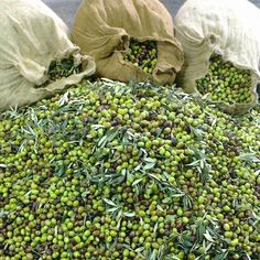 olives ready to make olive oil