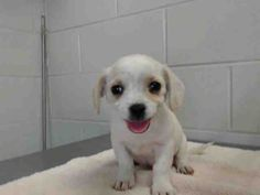 This DOG-ID#A480033  I am a male, white Beagle and Chihuahua - Smooth Coated mix. Shelter staff think I am about 9 weeks old. I have been at the shelter since Mar 16, 2015.  If you are my owner, you must physically come to the shelter to claim me. We are located at 333 Chandler Place, San Bernardino, CA 92408. Our Lost & Found hours are Tuesday-Saturday 10:00 am to 5 pm.